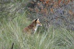 Rode vos in het hout Royalty-vrije Stock Foto