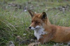 Rode vos in het hout Royalty-vrije Stock Afbeeldingen
