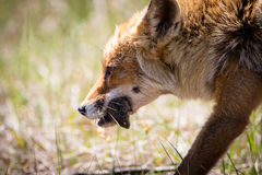 Rode vos met een muis daarin de mond dichte omhooggaand van ` s Stock Foto's