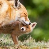 Rode vos met een welp royalty-vrije stock afbeeldingen