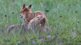 Rode vos met welpen stock footage