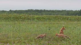 Rode vos met welpen