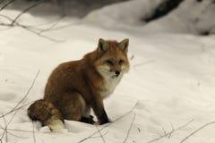 Rode vos op een gebied van sneeuw Royalty-vrije Stock Foto's