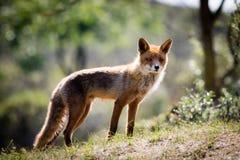 Rode vos op een heuvel Royalty-vrije Stock Foto's