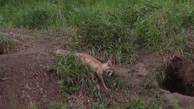 Rode vos op groene weide Vos in de wildernis stock footage