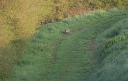 Rode vos op het gebied in het gras stock foto's