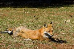 Rode vos op het gras Stock Fotografie
