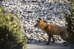 Rode vos op stoep stock foto's
