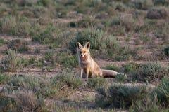 Rode vos op woestijngebied Royalty-vrije Stock Foto