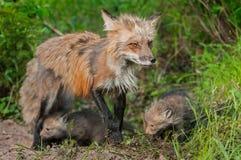 Rode Vos Vixen (Vulpes vulpes) en Uitrustingen - Oren Achter Stock Afbeeldingen