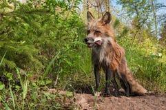 Rode Vos Vixen (Vulpes vulpes) met Vleessnack in Haar Mond Royalty-vrije Stock Fotografie