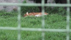 Rode vos Vulpes die op het groene gras liggen stock videobeelden