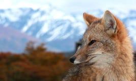Rode vos (Vulpes vulpes) Royalty-vrije Stock Foto