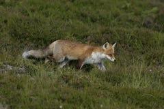 Rode vos, Vulpes vulpes Royalty-vrije Stock Afbeelding