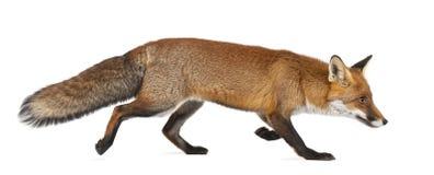 Rode vos, Vulpes vulpes, 4 jaar oud, het lopen Royalty-vrije Stock Afbeeldingen