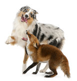 Rode Vos, Vulpes vulpes, 4 jaar oud, het spelen Royalty-vrije Stock Fotografie