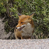 Rode Vos (Vulpes vulpes) in de bergen van Corsica, Frankrijk Stock Foto
