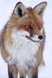 Rode Vos (Vulpes vulpes) in de winter stock afbeelding