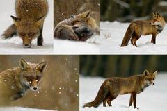 Rode vossen in de sneeuw royalty-vrije stock foto