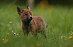 Rode voswelp Royalty-vrije Stock Afbeelding