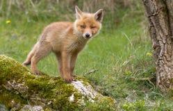 Rode voswelp royalty-vrije stock afbeeldingen