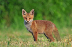 Rode voswelp Royalty-vrije Stock Fotografie