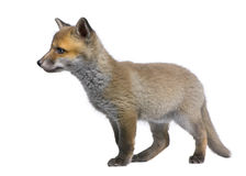 Rode voswelp (6 Weken oud) - Vulpes vulpes stock afbeelding