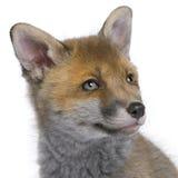 Rode voswelp (6 Weken oud) - Vulpes vulpes stock foto's