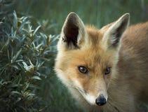 Rode voswelp Royalty-vrije Stock Foto's