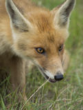 Rode voswelp Stock Fotografie