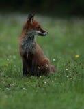 Rode voswelp Royalty-vrije Stock Foto