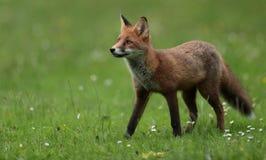 Rode voswelp Stock Afbeeldingen