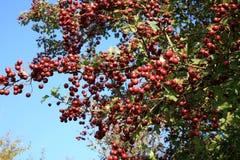 Rode vruchten Royalty-vrije Stock Afbeelding