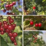 Rode vruchten en bessen Stock Afbeelding