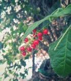 Rode vruchten met mieren die van een groene boom hangen Stock Foto