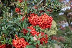 Rode vruchten in rood de tuin Royalty-vrije Stock Fotografie