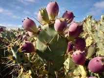 Rode vruchten van cactus en doornen in Spanje royalty-vrije stock afbeelding
