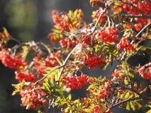 Rode vruchten van de lijsterbes stock afbeeldingen