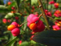 Rode vruchten van gemeenschappelijke as Royalty-vrije Stock Afbeelding