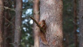 Rode Vulgaris eekhoorn, Sciurus, zitting en het lopen langs pijnboomtak dichtbij heide in de bossen van nationale rookkwartsen, S stock video