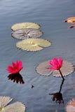 Rode waterlelie stock foto's