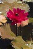 Rode waterlelie stock afbeelding