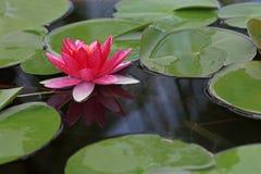 Rode waterlelie met lotusbloemblad Stock Foto's