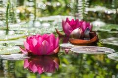 Rode waterleliebloemen stock foto