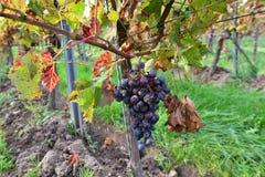 Rode wijndruif in vieyard Stock Afbeelding
