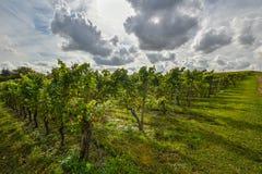 Rode wijndruif in wijngaard Royalty-vrije Stock Afbeeldingen