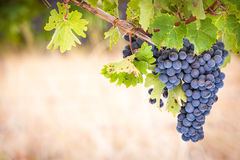 Rode Wijndruiven Stock Afbeeldingen
