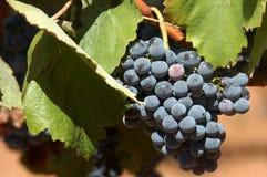Rode wijndruiven Royalty-vrije Stock Foto's