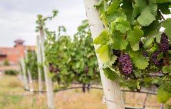 Rode wijndruiven die op rijen van wijnstokken groeien royalty-vrije stock fotografie