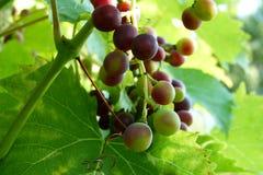Rode wijnstokdruif royalty-vrije stock foto's